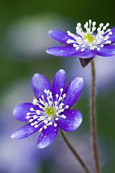 Hepatica acutiloba x nobilis