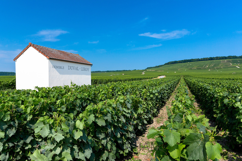 Trimmed vines of vineyard of Vignoble Duval-Leroy on the Champagne Tourist Route at Vertus, in Marne, Champagne-Ardenne, France