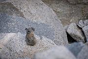 American Pika (Ochotona princeps), John Muir Wilderness, Inyo National Forest, California