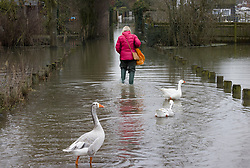© Licensed to London News Pictures. 04/02/2021. Little Marlow, UK. Geese attempt to follow a resident making her way through floodwater near Little Marlow in Buckinghamshire after the river Thames burst its banks. Large parts of the UK have experienced more wet conditions bringing further flooding . Photo credit: Peter Macdiarmid/LNP