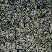 An aerial shot of Fittonia. Photo by Adel B. Korkor.