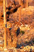 A Grenache vine at Chateau Saint Cosme in Gigondas, Vaucluse, Rhone, Provence, France