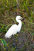Great White Egret, Ardea alba, also known as Great Egret or Common Egret with fish catch the Everglades, Florida, USA