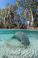Florida manatee, Trichechus manatus latirostris, a subspecies of the West Indian manatee, endangered. A manatee has its snout moving around in the sand with trees above and patterned sun rays. Researches theorize this behavior is sieving through sand to get minerals or nourishment , or it could be scrubbing its mouth or teeth, or maybe it just feels good as the snout is very sensitive. Vertical orientation split image. Three Sisters Springs, Crystal River National Wildlife Refuge, Kings Bay, Crystal River, Citrus County, Florida USA.