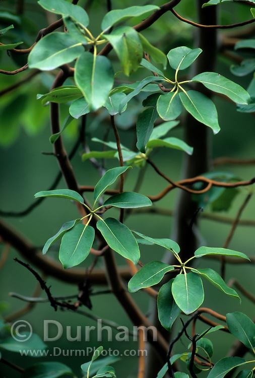 Madrone tree (Arbutus menziesii) leaves. Shaw Island, Washington.