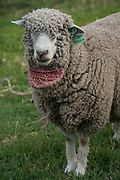 Sheep with mouth bag to stop them feeding when being walked somewhere<br /> Pulingue San Pablo community<br /> Chimborazo Province<br /> Andes<br /> ECUADOR, South America