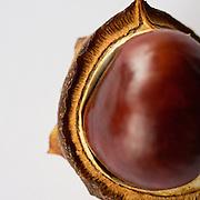 Horse chestnut (Aesculus hippocastanum) fruit detail.