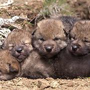 Gray Wolf (Canis lupus) Pups cuddling near the den. Montana. Captive Animal.