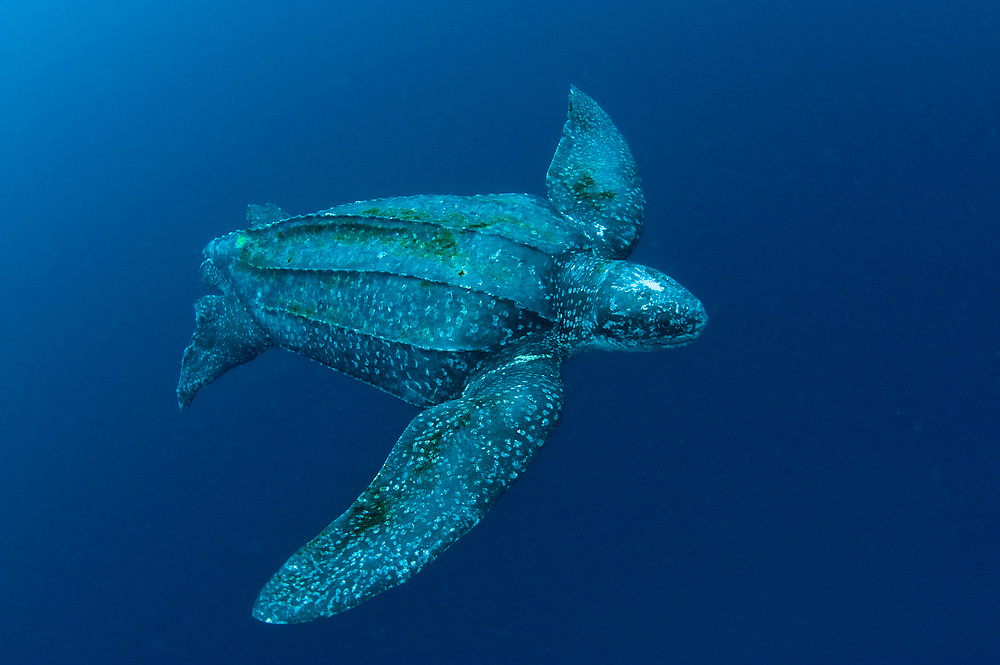 Male Leatherback Sea Turtle (Dermochelys coriacea) photographed in the open ocean. The Leatherback is one of the world's largest reptiles, reaching close to 2,000 lbs. and nearly 10 ft. in length. Severely endangered, the species is threatened by coastal development, poaching and entanglement with fishing equipment.