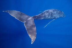 Humpback whale, Megaptera novaeangliae, displaying its propulsion equipment,  powerful tail flukes. Moorea, French Polynesia, Pacific Ocean