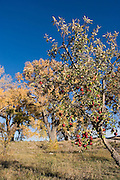 Vertical of apple tree at harvest