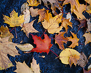 Autumn colors of Sugar Maple, Acer saccharum, and brich leaves, Poke-O-Moonshine Mountain, Adirondack Mountains, Adirondack Park, New York.