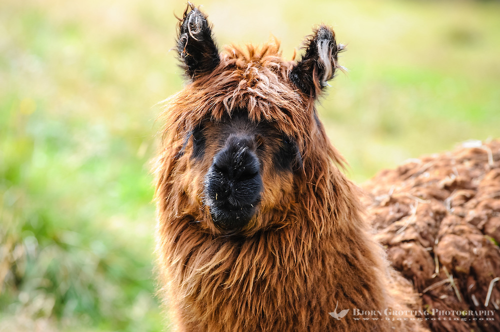 Norway, Oppland, Valdres. Domestic Lama at Beitostølen.