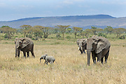 Elephant family group in Tanzania, Africa