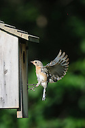 Female Eastern Bluebird flying to nestbox during the summer to check on chicks.