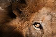 Close up of a lion eye (Panthera leo), Kapama Game Reserve, South Africa.