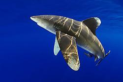 oceanic whitetip shark, Carcharhinus longimanus, with remora, Remora sp., Kona Coast, Big Island, Hawaii, USA, Pacific Ocean