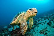 Loggerhead Sea Turtle, Caretta caretta, swims over a coral reef in Palm Beach County, Florida, United States Image available as a premium quality aluminum print ready to hang.