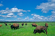 herd of American plains bison grazing on fescue prairie <br />