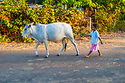 A herd of cattle are being herded by children in rural Thailand
