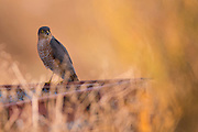 Eurasian Sparrowhawk (Accipiter nisus). his bird-of-prey is widespread across Europe, Asia and North Africa. A male adult reaches up to 34 centimetres in length with a wingspan of 59 to 64 centimetres. It hunts mainly smaller birds and mammals. Photogrphed in Israel in December