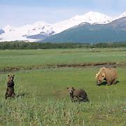 Alaskan Brown Bear, (Ursus middendorffi) Mother with two young cub in grass. Katmai National Park. Alaska. June. Late Spring.