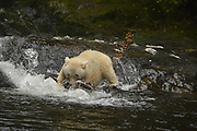 The Kermode bear, also known as the spirit bear, is a rare subspecies of the American black bear living in the Central and North Coast regions of British Columbia, Canada. Spirit Bears are a subspecies of a north American Black bear with a rare recessive that makes their fur white or cream.  <br /> <br /> Spirit bears are not albino. They have pigment in their skin and eyes, which wouldn't be the case with albinos. Spirit bears have a single mutant gene that causes their unusual coloration.<br /> <br /> How may spirit bears are there?  No one agrees on the exact number of spirit bears living in this corner of the world, but the best estimate is that the spirit bear population numbers no more than 400 individuals.<br /> <br /> Spirit bears are found only in the Great Bear Rainforest, a 6.4 million ha ecosystem on British Columbia's north and central coast. It is the world's largest intact temperate rainforest.