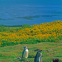 Magellenic Penguins (Spheniscus magellanicus) stand beside their burrows, in front of flowering Gorse bushes on Carcass Island in the Falkland Islands.  In the background is the cruise ship, Clipper Adventurer.