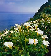 Cala Lilies byDrakes Bay,Point Reyes National Seashore, California