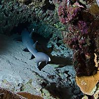 White-tip Reef Shark, Triaenodon obesus, (Rüppell, 1837), mano lalakea, Molokini Crater, Maui Hawaii
