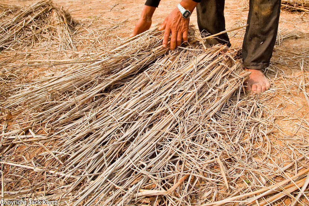 "08 APRIL 2010 - NAKHON PHANOM, THAILAND: KUMHOON, a rice farmer in Nakhon Phanom province of Thailand, collects rice straw from his paddies. He will use the straw to feed livestock and as a bed for mushrooms he plans to plant. He said he doesn't know why the Mekong River is so low and why the region is gripped by drought. He said he heard on TV and in newspapers that ""global warming"" may be to blame, but that he doesn't understand what global warming is. He said he tried to grow potatoes because they use less water but he couldn't sell them in the local markets. The region is in the midst of a record setting drought and the Mekong River is at its lowest point in nearly 50 years, setting up an environmental disaster the region has never seen before. Many of the people who live along the river farm and fish. They claim their crops yields are greatly reduced and that many days they return from fishing with empty nets. The river is so shallow now that fisherman who used to go out in boats now work from the banks and sandbars on foot or wade into the river. In addition to low river levels the Isan region of Thailand is also in the midst of a record drought and heat wave. Farmers have been encouraged to switch from rice to less water intensive crops and to expect lower yields. Farmers here rely more on rain fall than irrigation to water their crops.       PHOTO BY JACK KURTZ"