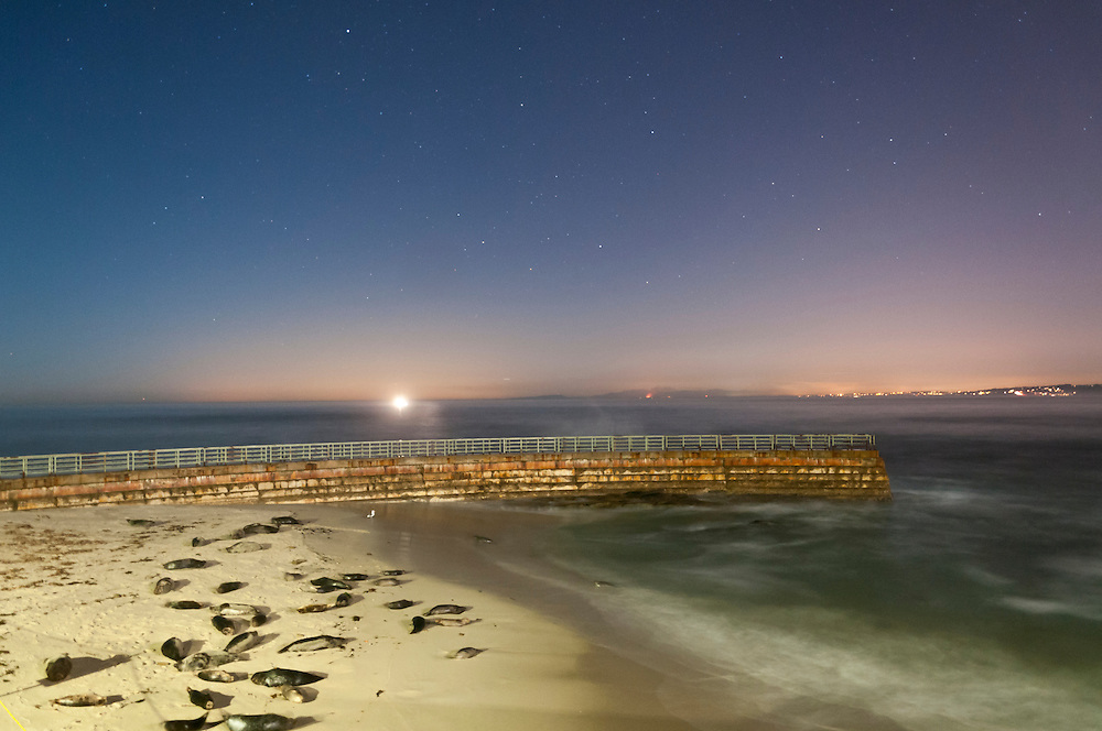 A colony of harbor seals (Phoca vitulina) on the beach in La Jolla Cove, San Diego County, California. Photo by William Drumm.
