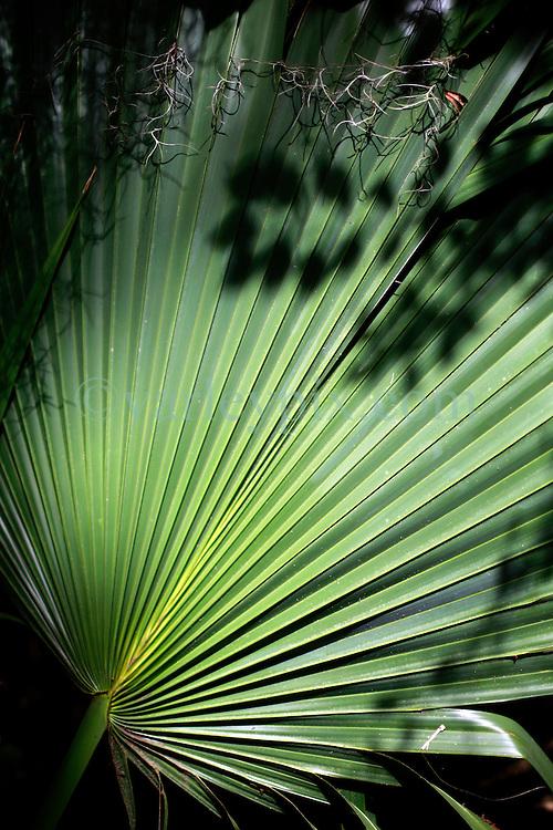 02 June 2014. Jean Lafitte National Historic Park, Louisiana.<br /> A sabal palm leaf in the swamp at the Barataria Preserve wetlands south or New Orleans.<br /> Charlie Varley/varleypix.com