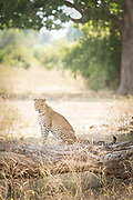Leopard sitting in South Luangwa National Park, Zambia