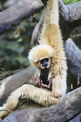 White Handed Gibbons With A Baby Suckling
