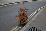 Dead Christmas tree left in the street in London, England, United Kingdom.