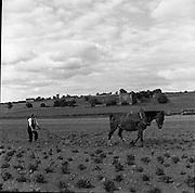 Ploughing at Stoneyford.05/07/1953 (molding beet)