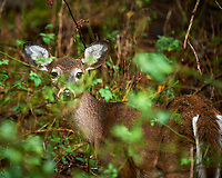 Deer hiding in the bushes. Image taken with a Nikon D700 camera and 70-300 VR lens (ISO 1250, 300 mm, f/5.6, 1/125 sec).