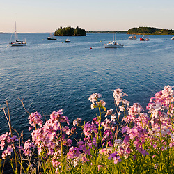 Phlox bloom on the shoreline of the harbor in Lubec, Maine.