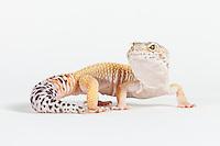 Leopard gecko (Eublepharis macularius) - high yellow