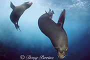 Galapagos fur seals, Arctocephalus galapagoensis, endemic and endangered species, Galapagos Islands, Ecuador ( Eastern Pacific Ocean )