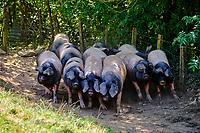 France, Pyrénées-Atlantiques (64), Pays-Basque, vallée des Aldudes, élevage Pierre Oteiza de porcs basques de race pie noir // France, Pyrénées-Atlantiques (64), Basque Country, Aldudes valley, Pierre Oteiza breeding of Basque pigs of the black magpie breed