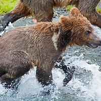 USA, Alaska, Katmai. First year brown bear cub exploring Brooks Falls with mother and family.