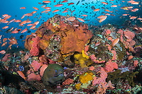 Moray Eel, Anthias, Cup Corals, and Sponges<br /> <br /> Shot in Indonesia