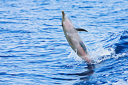 Pantropical Spotted Dolphin calf, Stenella attenuata, with whalesucker, Remora australis, jumping out of boat wake, off Kona Coast, Big Island, Hawaii, Pacific Ocean.