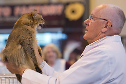 © Licensed to London News Pictures. 23/11/2013. London, England. A stewart looks at a Somali cat during the judging process. The 37th Supreme Cat Show takes place at the National Exhibition Centre in Birmingham, UK. Photo credit: Bettina Strenske/LNP