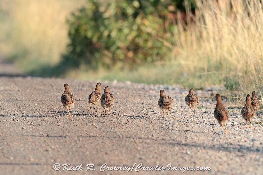 Hungarian partridge walk on a gravel road.