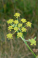 WILD PARSNIP Pastinaca sativa ssp. sativa (Apiaceae) Height to 1m. Upright, downy perennial with hollow, ridged stems; smells strongly when bruised. Found mainly in dry, calcareous grassland. FLOWERS are yellowish and borne in open, bractless umbels, 3-9cm across (Jun-Sep). FRUITS are oval, flattened and winged. LEAVES are pinnate with oval, lobed and toothed leaflets. STATUS-Widespread and locally common in S Britain; scarce or absent elsewhere. Nb. Garden Parsnip (P.s.hortensis), the familiar garden vegetable, is sometimes naturalised.