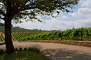 Rows of grape vines in Tuscany vineyard
