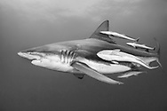 """The blacktip shark-Requin bordé (Carcharhinus limbatus), South Africa.<br /> <br /> The blacktip shark (Carcharhinus limbatus) belongs to the family of Carcharhinidae. He is present in three big oceans and in the Mediterranean Sea. He can live 12 years for a maximum size of 2,80m. One distinguish them by blackpoint on the pectoral, dorsal, pelvic fins and the caudal fin. The body is grey with reflections bronze and the white stomach. Shark viviparous animal (birth of the young already formed sharks), females can carry about ten youngs every two years. The blacktip shark is endangered by its intensive, commercial and sports peach. He is classified """"almost threatened"""" by the Red List of the UICN."""